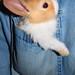conejo de bolsillo