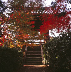 (yocca) Tags: autumn red film nature t temple kyoto bell kodak hasselblad momiji japanesemaple  botanic  500cm carlzeiss 2011 e100g shinnyodo    plannar nov2011