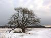That Old Tree (Steffe) Tags: oxel tree swedishwhitebeam välsta haninge sweden winter snow fall path ginordicjan12 landscape nature project photoproject träd natur landskap övermorgonuppförsötar organicparalegaladdressed