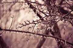 Icy Branches (Linda's Fotos) Tags: winter cold ice frozen drops branches freezing freeze icy