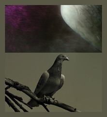 Living Dove - Colours and Greys (hedbavny) Tags: wien colour bird nature animal grey sterreich diptych ast colours purple dove feather grau textures ufer taube farbe danube tier vogel farben violett donau branche feder diptychon purpur
