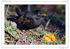 Le merle | Turdus Merula | Common Blackbird (BerColly) Tags: france bird google flickr turdusmerula merle oiseau auvergne puydedome commonblackbird nikkor500mmf4p bercolly