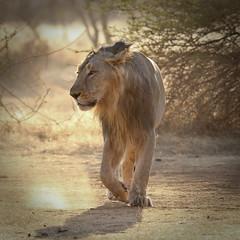 20120127 - EXPLORED #8 - The Royal Gait - IMG_0935 (Swaranjeet) Tags: blinkagain musictomyeyeslevel1 bestofblinkwinners blinkagainsuperstars gününeniyisi thebestofday feline cats tiger lion lioness jungle wild lionking thepinnaclehof tphofweek136 kanchenjungachallengewinner blinksuperstars k2challengewinner pinfeb24 beautifulworldchallenges 2012 favourites explored ingalleries pinnacle hof gir lionsafari gujarat india thechallengefactory lightwriterscc explore swaranjeet sjs photos flickrexplore singh mumbai thane swaran swaranjeetsingh sjsvision sjsphotography swaranjeetphotography hindustan bharatvarsh indie canon eos7d apsc eoe 7d photographer indian