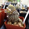 Frailea mammifera (thomas n) Tags: frailea mammifera