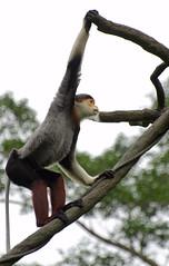 Singapore Zoo (Wang Guowen (gw.wang)) Tags: animal zoo monkey singapore tiger baboon touristattraction whitetiger afs70300mm d7000