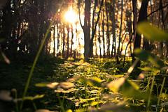 Sea of clovers (Jstiw) Tags: trees forest arboles bosque campo clovers fiel treboles