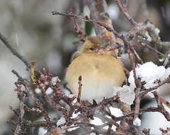 Le pinson des arbres (Le pot-ager) Tags: fringillacoelebs oiseaux pinsondesarbres pison passereaux