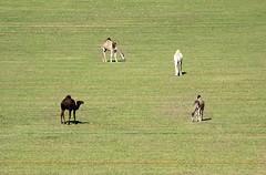 - Camels (  | Ghali Al Mubarak) Tags: camera city hail canon lens photography eos al village desert zoom north kingdom palace saudi arabia ef  70200mm mubarak           f4l         50d       suadi    ghali     mubark      alshammari shammari          ariban jelif