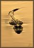 Comin' at cha' (WanaM3) Tags: park lake nature water sunrise golden texas reptile wildlife alligator brazosbendstatepark needville 40acrelake theenchantedcarousel wanam3