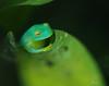 little frog prince (.•۫◦۪°•OhSoBoHo•۫◦۪°•) Tags: sanfrancisco macro cute green nature canon rainforest dof bokeh amphibian 100mm frog kawaii kermit herp californiaacademyofsciences herpetology themuppets sapito landlife sapitos canoneos40d academylovelife2012 lovelife2012 turquoisefrog