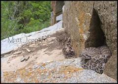 Western Rattlesnake, Great Basin - Monr UT (2) 6-29-06 cropcol (Matt Jeppson) Tags: