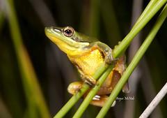 Wallum Sedge Frog (Litoria olongburensis) (Gus McNab) Tags: tree amphibian frog frogs endangered amphibians herp herps herpetology amphibia hylidae litoria wallum hylid olongburensis hylids