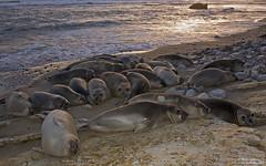 Elephant Seals -haul out (Bob Stronck) Tags: california sanmateocounty pinniped anonuevostatepark miroungaangustirostris northernelephantseal sanmateococoast ©rmstronck stronckphotocom