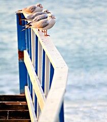 Pit stop (meghimeg(temporarily disconnected)) Tags: sea sunrise fence mare alba seagull gabbiani 2012 bordighera staccionata