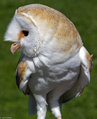 Is This My Best Profile? (f0rbe5) Tags: barnowl tytoalba bird nocturnal barn owl heartshapedface ghostowl churchowl goldenowl ratowl stoneowl monkeyfacedowl scream hiss hunting rodents predators tropicalwingszoo tropicalwings zoo southwoodhamferrers essex 2011 uk canoneos450d canonef100400mmf4556lisusm