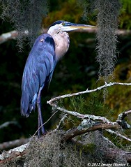 Great Blue Heron - Lake Martin, Louisiana (Image Hunter 1) Tags: blue tree eye heron nature birds yellow moss louisiana branch bokeh branches flash beak feathers bayou swamp spanishmoss perch perched marsh greatblueheron cypresstree natureconservancy lakemartin specanimal t2i birdslouisiana cypressislandpreserve birdperfect canont2i
