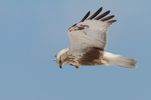 Hovering Roughleg #1 - Rough Legged Buzzard near Hakodate.........