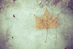 (Fran-cesca) Tags: winter snow cold leave ice neve foglia inverno freddo ghiaccio