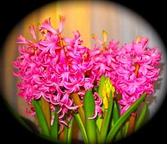 Hyacinth (MickyFlick) Tags: pink hyacinth hyacinthus hiacynt commonhyacinth dutchhyacinth