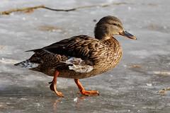 Etang re Rosiere - Canard-1 (Wildboar08) Tags: winter france bird ice canon frozen is duck hiver ii 28 70200 gel oiseau canard glace etang isere rosiere bourgoin 450d jallieu