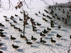 Eiszeit , frosty time , Auf geht's - Futter von links ,  35- 31/968 (roba66 (thanks for +12.Million views )) Tags: park schnee winter lake snow cold bird ice nature water birds garden lago see duck wasser frost natur jardin ducks frosty enten vgel teich ente kalt garten vogel oiseaux tmpel eiszeit naturalezza thewonderfulworldofbirds roba66 dhiver