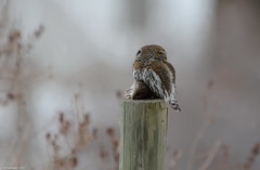 Northern Pygmy-Owl (Glaucidium gnoma) (Photography Through Tania's Eyes) Tags: canada nature animal lunch mouse photography photo bill pom wings nikon all photographer bc post image okanagan wildlife feathers photograph meal owl prey predator natures birdofprey birdwatcher level6 okanaganvalley britishcolumiba peachland northernpygmyowl glaucidiumgnoma copyrightimage nikond7000 taniasimpson allofnatureswildlifelevel1 allofnatureswildlifelevel2 allofnatureswildlifelevel3 allofnatureswildlifelevel4 allofnatureswildlifelevel5 allofnatureswildlifelevel8 allofnatureswildlifelevel6 allofnatureswildlifelevel7 allofnatureswildlifelevel9 allofnatureswildlifelevel10