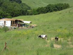 Cows_4596326917_l