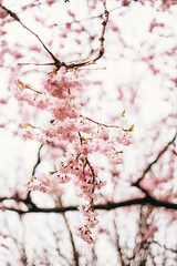 Cherry Blossoms (Joe Magowan) Tags: ireland playing 35mm cherry spring 14 blossoms fields fujifilm northern cherryvale xpro1