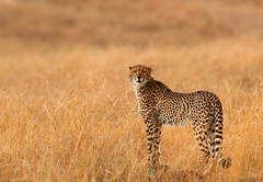 Exchanging glances! (Rainbirder) Tags: kenya ngc npc cheetah maasaimara acinonyxjubatus rainbirder