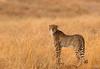 Exchanging glances! (Rainbirder) Tags: kenya ngc npc cheetah maasaimara acinonyxjubatus rainbirder