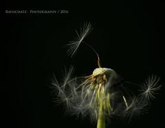 ein Platz an der Sonne (rafischatz... www.rafischatz-photography.de) Tags: macro pentax seed dandelion wildflower lowkey k3 onblack blowball