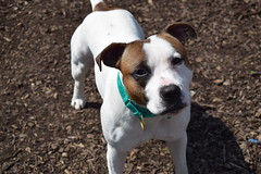 Riley (MerlinAnimalRescue) Tags: rescue dog animal wales north bull terrier merlin staffie staffordshire sbt
