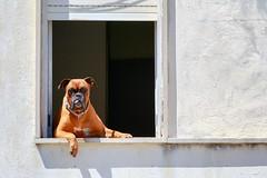 """Impressioni portoghesi - spettatori inconsueti (""""Strlic Furln"""" - Davide Gabino) Tags: dog sun white window tongue cane daylight finestra lingua sole bianco blanc albufeira portogallo giorno"""