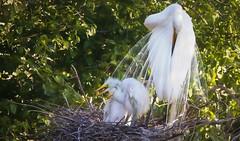 Chilax at the nest (overthemoon3) Tags: nature birds spring wildlife rookery wildlifephotography egretrookery