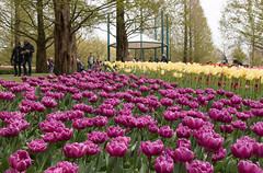 Lovely Lines (Sara@Shotley) Tags: park pink flowers trees people yellow gardens landscape botanical outdoors spring tulips perspective tourists blooms visitors bandstand keukenhof flowerbeds