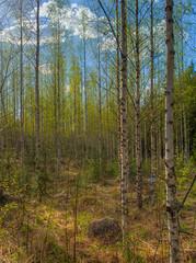 Koivikkoa hiirenkorvalla (MikeAncient) Tags: sky clouds forest suomi finland geotagged koivu spring woods birch hdr mets silverbirch pilvet mntsl kevt taivas betulapendula tonemapped tonemap rauduskoivu