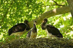 at a secret place | 4 weeks later (w-venne) Tags: wood bird buchenwald jung nest young baum fledgling vogel beechwood brut teutoburgerwald juvenil jungvogel blackstork schwarzstorch ciconianigra