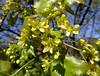 Acer truncatum Bunge 1833 (SAPINDACEAE) (helicongus) Tags: spain acer sapindaceae acertruncatum jardínbotánicodeiturraran