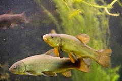 Mritzeum (automatix74) Tags: fish pentax fisch k5 highiso mritz waren da50135 mritzeum