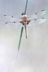 Vierfleck (Libellula quadrimaculata) (MichaSauer) Tags: macro insect makro libelle libellula odonata 150mm fourspottedchaser vierfleck libellulequatretaches segellibelle