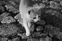 Run, run,... (John LaMotte) Tags: gato cat blackwhite bw pretoebranco terena portugal infinitexposure monocromo blancoynegro ilustrarportugal