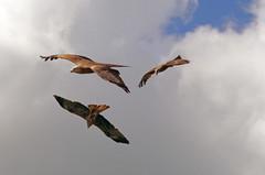 Black kite display team (New Forest Man) Tags: kite black bird hawk events hampshire andover timeline prey conservancy