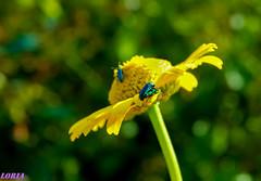 Al sol. (loriagaon) Tags: flowers espaa plants naturaleza flores macro nature animals plantas galicia animales pontevedra loria loriagaon rx10lll sonyrx10lll sonydscrx10iii