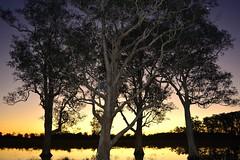 paperbarks (dustaway) Tags: sunset dusk australia nsw wetlands australianlandscape sunsetlight afterglow northernrivers melaleucaquinquenervia australiantrees broadleavedpaperbark richmondvalley tuckeanswamp