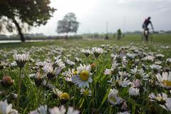 Spring on the heath (Spannarama) Tags: uk flowers trees london grass bicycle daisies cyclist blackheath heath daisy cycing