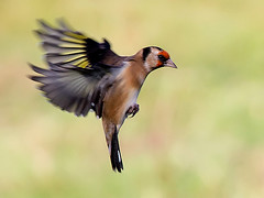 Flight Of The Golden Finch (StevieC-Photography) Tags: bird canon wings wildlife goldfinch flight finch bif 60d steviec