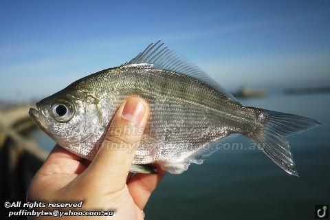 Walleye Surfperch - Hyperprosopon argenteum