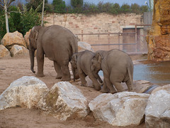 Asiatic elephants (JohnLH) Tags: zoo chester elephants chesterzoo asiaticelephants