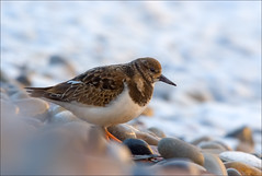 Turnstone (GaryHowells) Tags: beach birds pebbles turnstone wader evccmeet