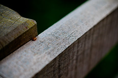 Fly away Ladybird... (Wil Wardle) Tags: canon fence photography wooden bokeh ladybird f28 adobelightroom canonef2470mm 5dmk2 wilwardle ebphoto